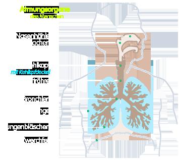 PNG Teile des menschlichen Atmungssystems