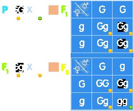 PNG Kreuzungsquadrat dominant-rezessiver Erbgang