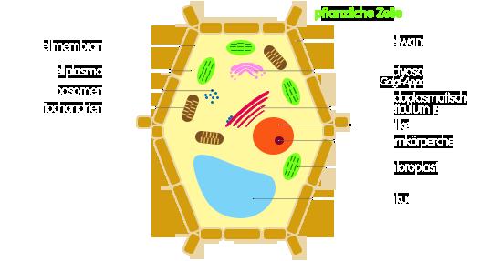PNG Bau einer Pflanzenzelle