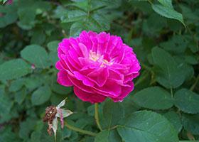 JPG Rose